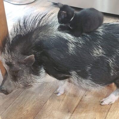 A black kitten rides on a black bristly pig